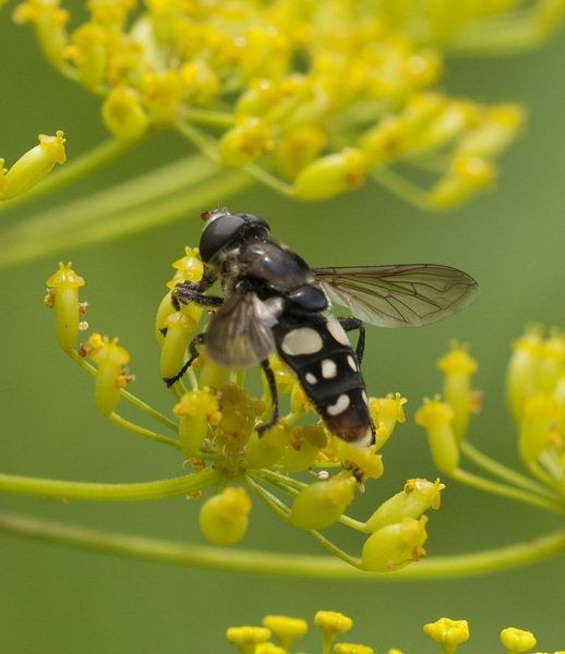 syrphid2180