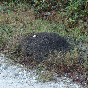 fire_ant_mound1_crop