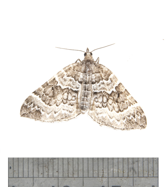 Eulithis explanata