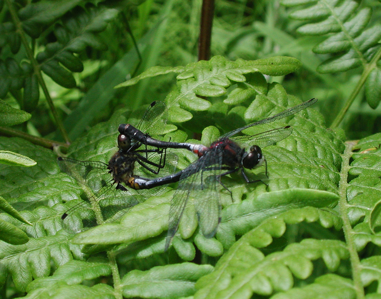 mating_dragonflies