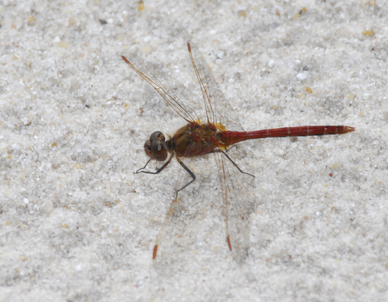 Sympetrum_costiferum0042