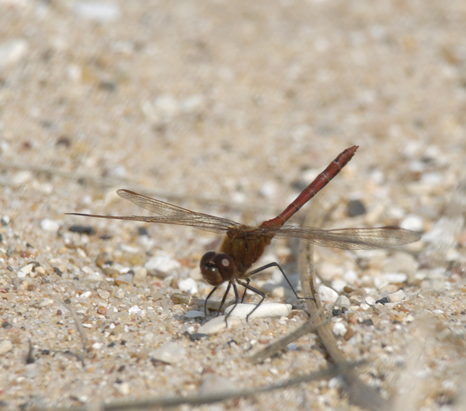sympetrum_costiferum0025