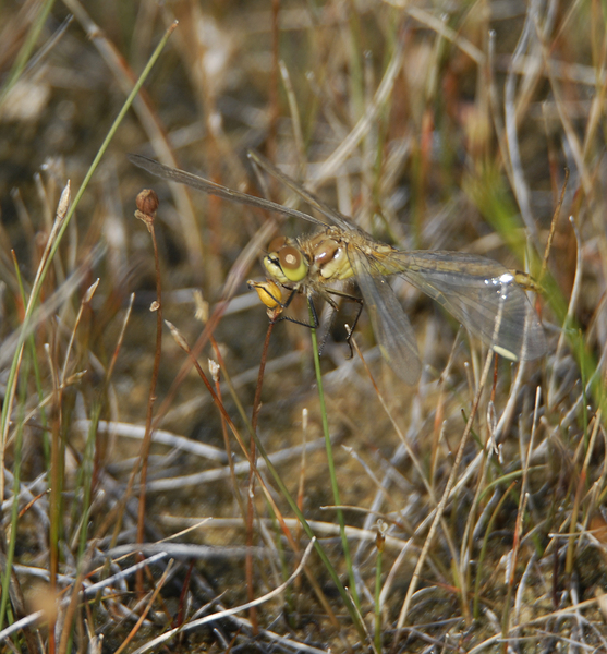 sympetrum_costiferum0029