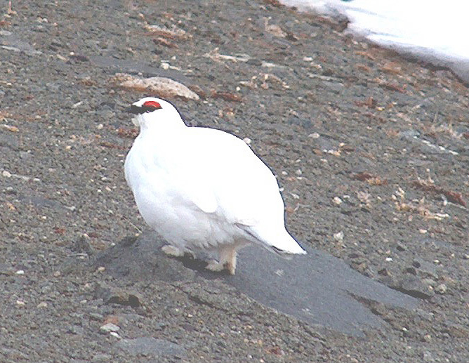 18_May_Rock_Ptarmigan_3