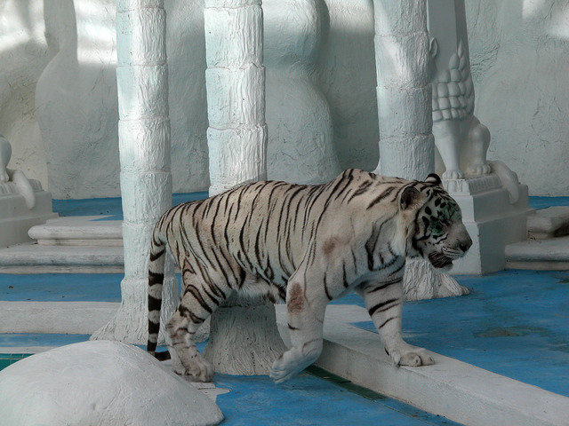 Photo of Panthera tigris