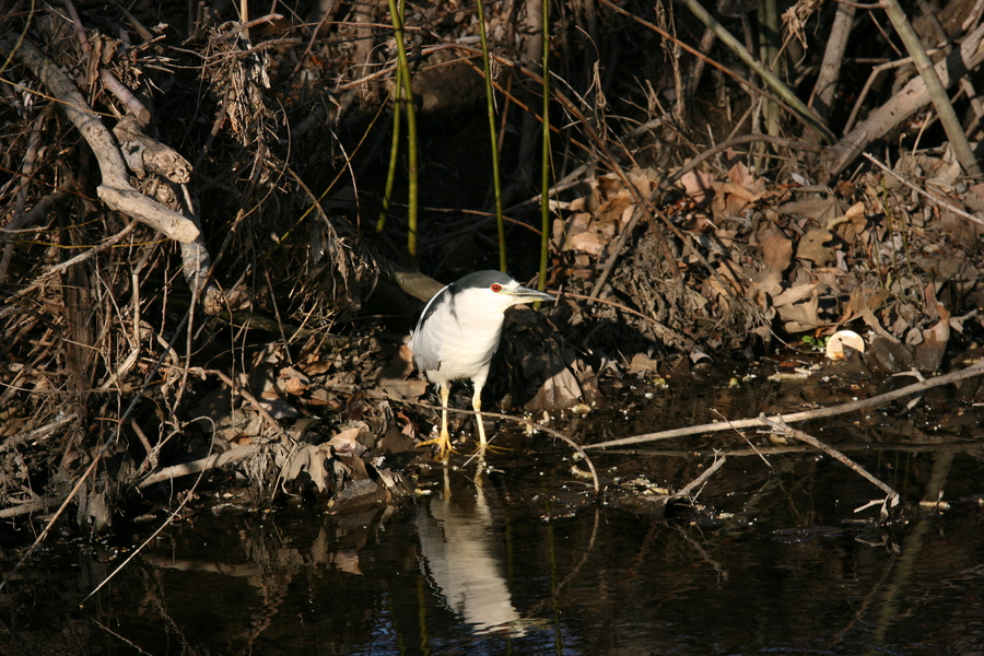Nycticorax