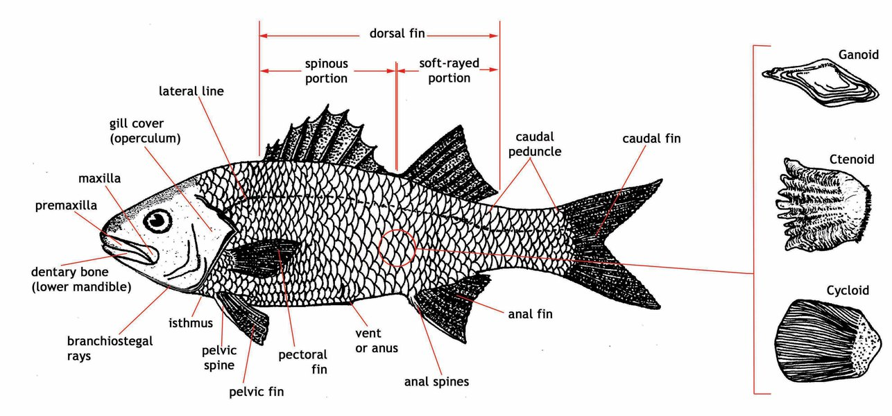 adw  large fish diagram jpglarge fish diagram
