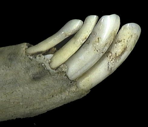 67482.liincisors_lateral