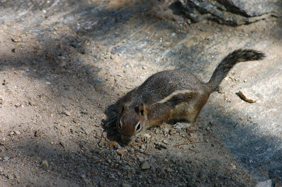 Spermophilus lateralis