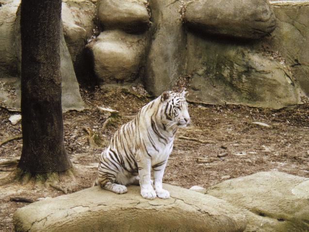 adw panthera tigris information