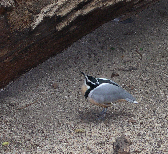 Egyptianplover