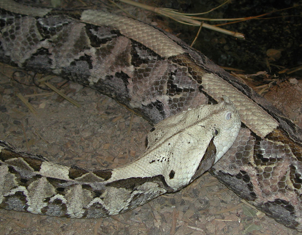 Photo of Bitis gabonica