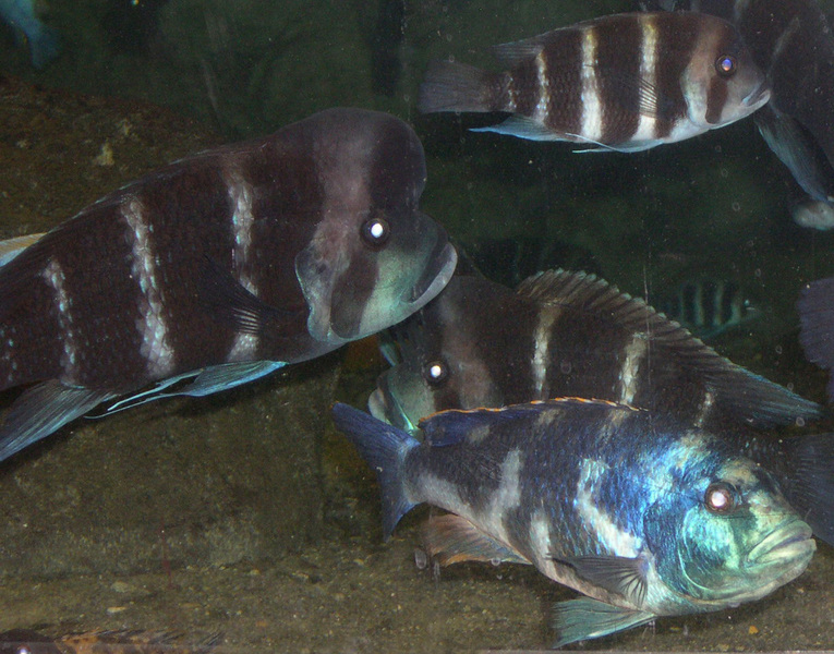 cichlids_many