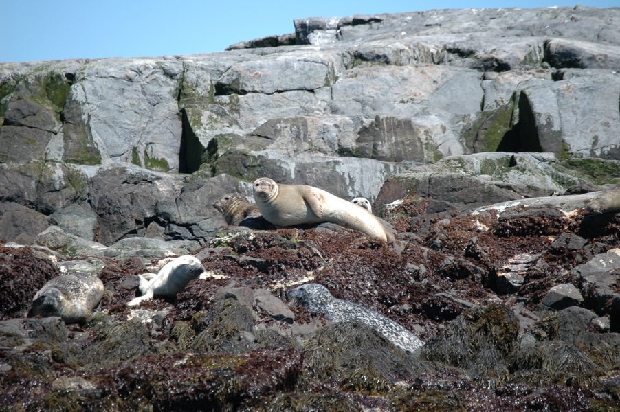 harborseals2