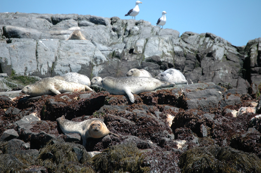 harborseals3