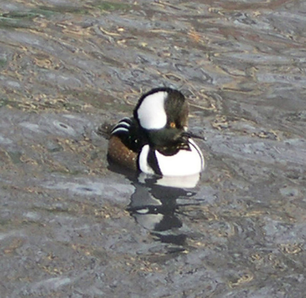 hooded_merganser
