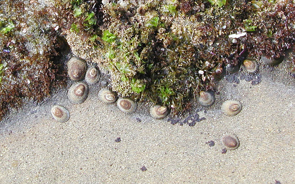limpets2
