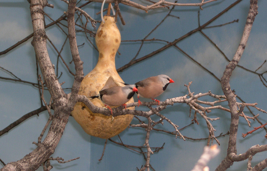 longtailed_finches