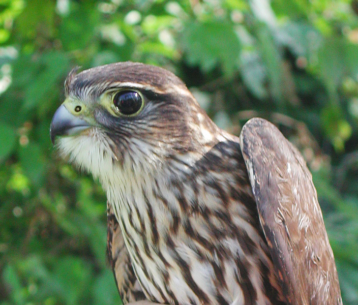 Falconinae