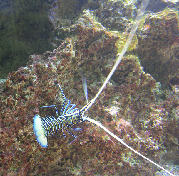 paintedspinylobster