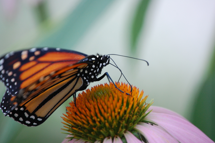 monarch_feeding