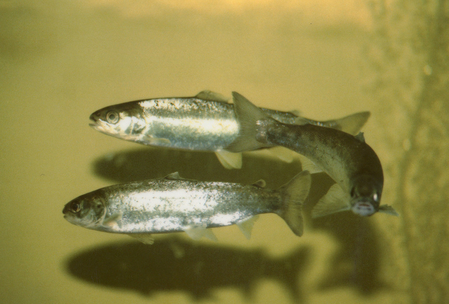 atlanticsalmonsmolts