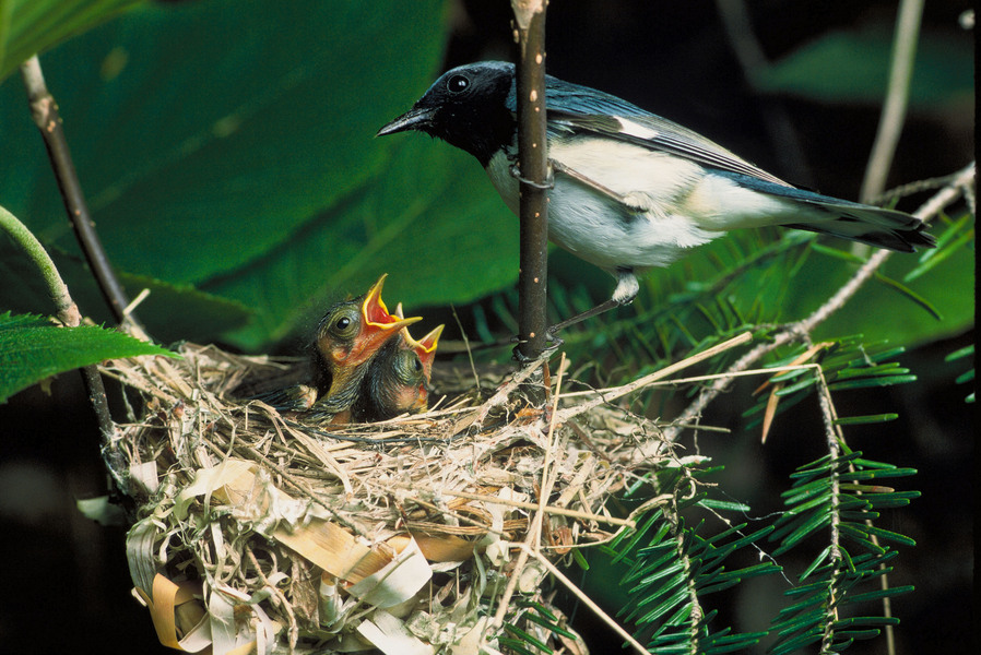 blackthroatedbluewarbler