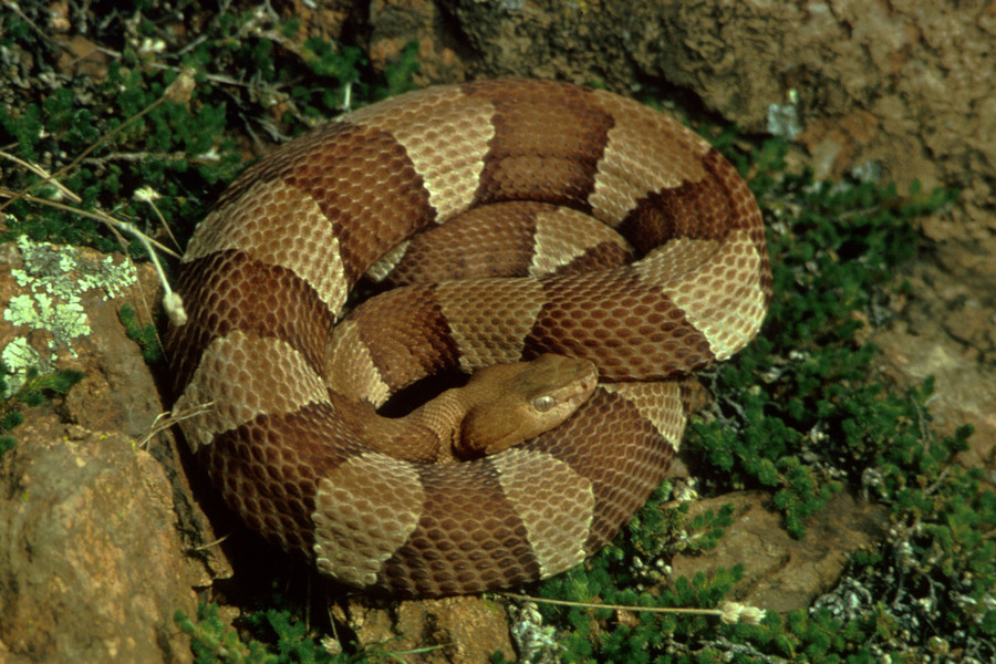 broadbandedcopperhead