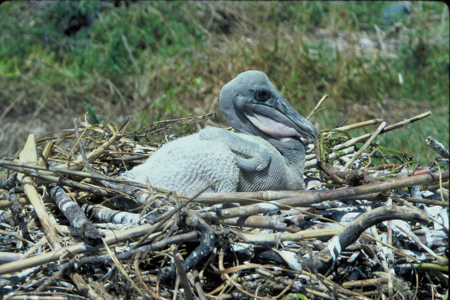 brown_pelican_nestling