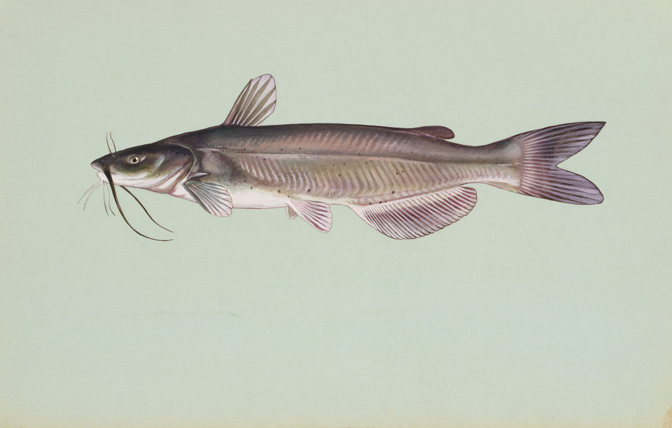 channelcatfish