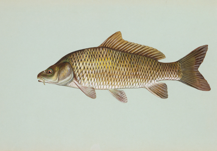 commoncarp