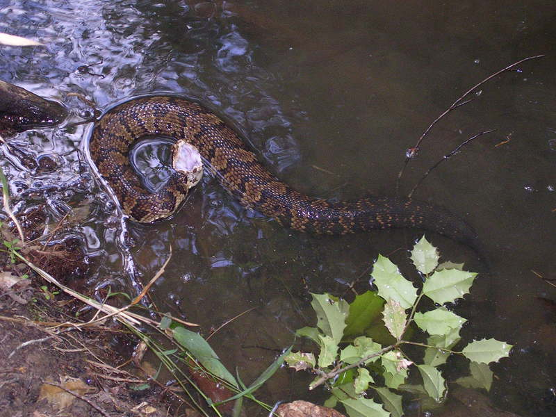 cottonmouth2