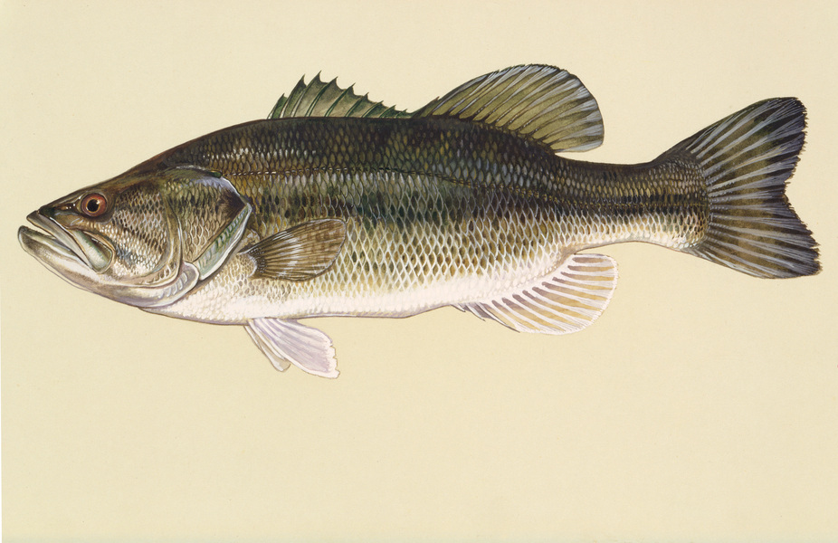 largemouthbass2