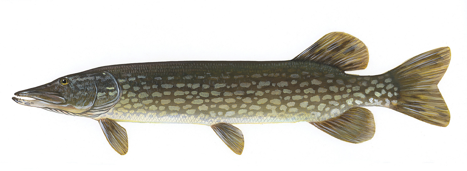 northernpike2
