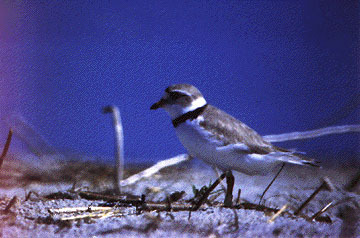 pipingplover