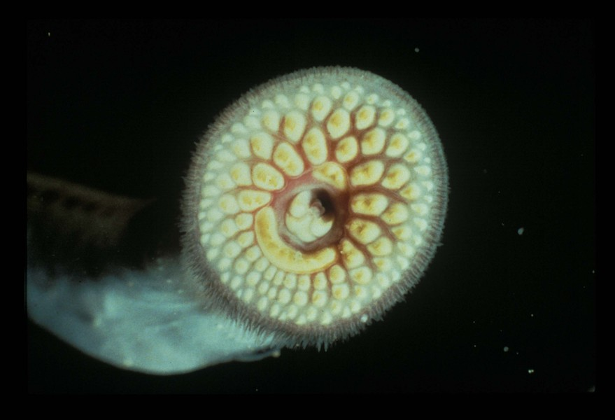 sealamprey