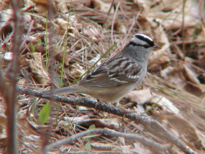 white-crownedsparrow