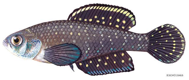 Cyprinodontiformes gambusia mosquito fish platyfish for Mosquito fish facts