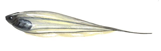 Glass Knifefish : ADW: Eigenmannia_lineata.jpg