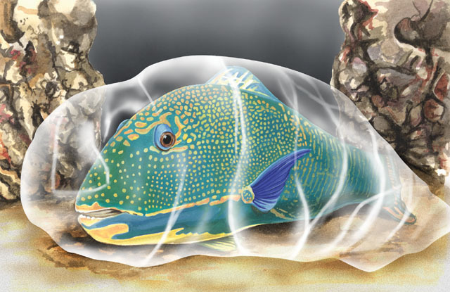 parrotfish in mucus bed