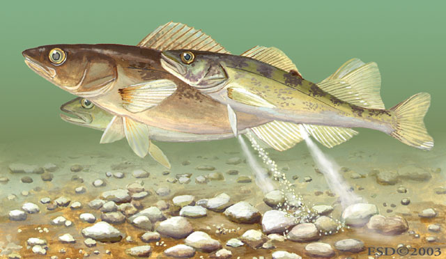 v04_id194_con_walleye