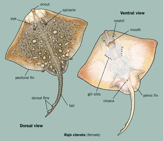 Skate Fish Organ Diagram Reinvent Your Wiring Diagram