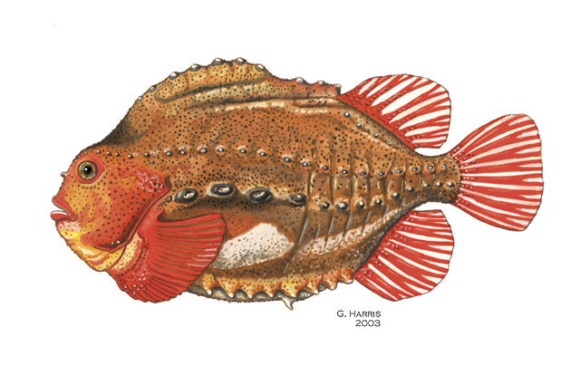 Cyclopterus_lumpus
