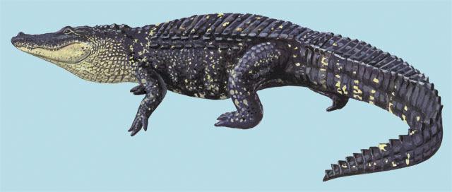 Alligator Alligator mississippiensis