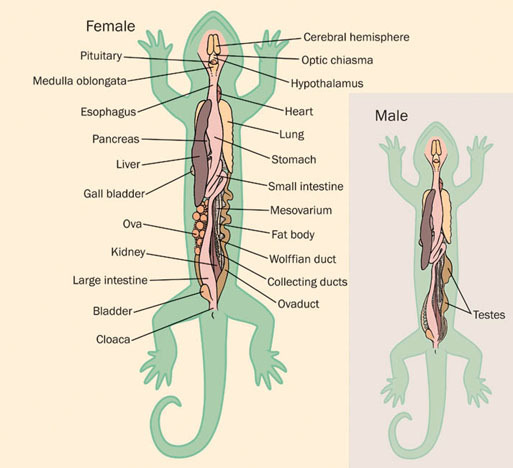 ADW: Salamander_organs.jpg