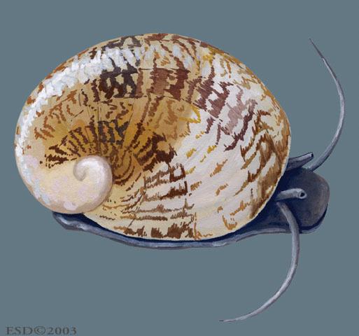ADW Theodoxus Fluviatilis INFORMATION