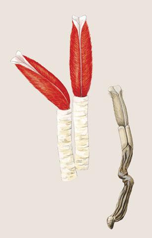 ADW Riftia Pachyptila INFORMATION