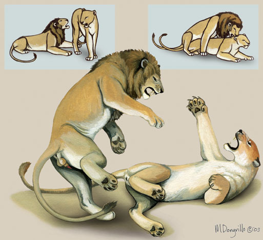 lion_mating_habits