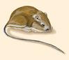 Heteromyidae - Kangaroo rats -- Discover Life
