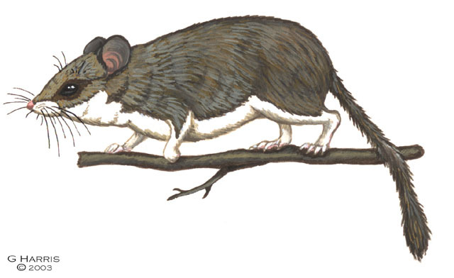 Dryomys_sichuanensis